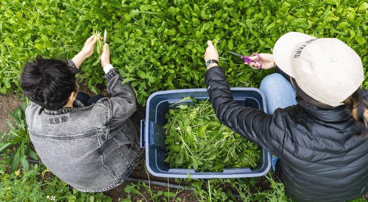 Students harvesting greens at UW farm