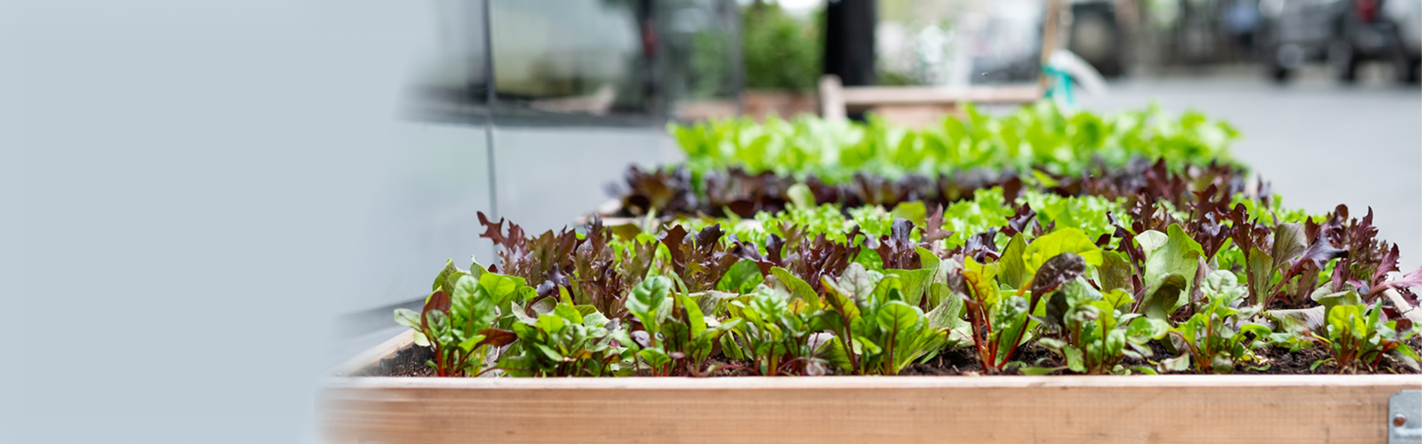 Leafy greens and lettuce grown in raised bed in city