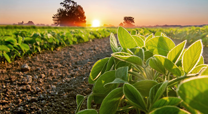 Food crop on farm showing soil and sunset in background