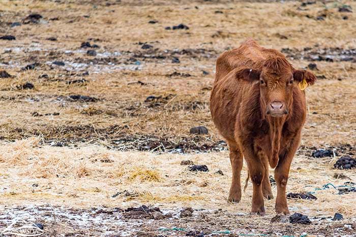 Photo of single cattle in snowy field