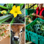 zucchini plant, quesadilla, cow, and cleaning vegetables