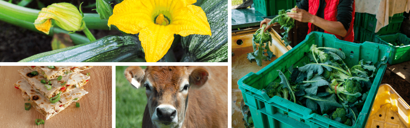 Collage of harvesting vegetables, cow, and quesadillas